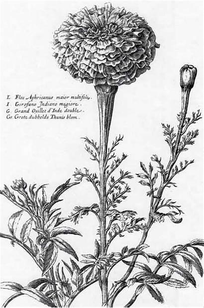 Marigold Tattoo Illustration Botanical Flower Marigolds Flowers
