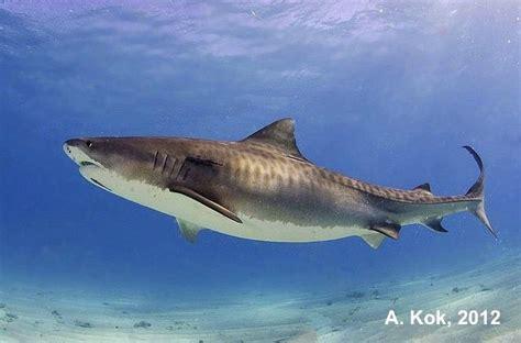 tiger shark dcna