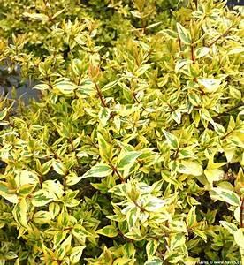 Abelia Grandiflora Kaleidoscope : abelia x grandiflora 39 kaleidoscope 39 ~ Melissatoandfro.com Idées de Décoration