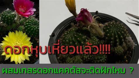 cactus ดอกแคคตัสหุบและเหี่ยวจะยังผสมเกสรแล้วติดฝักหรือไม่ - YouTube