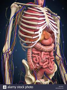 Human Midsection With Internal Organs Stock Photo