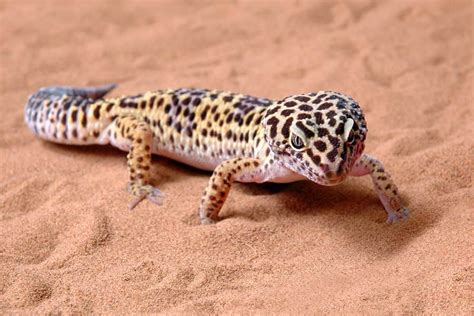 spotted gecko lizard species profile page
