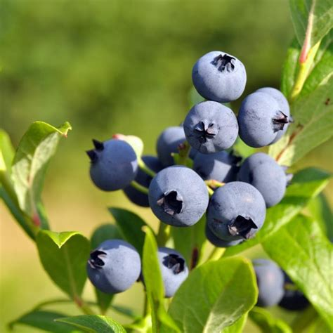 Heidelbeere, Blaubeere Pflanzen, Pflege Und Tipps Mein