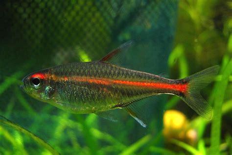Glowlight Tetra Fish Breed Profile