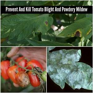 How To Prevent And Kill Tomato Blight And Powdery Mildew