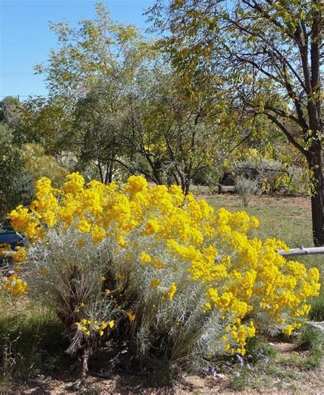 Chrysothamnus nauseosus ? Plants Of The Southwest