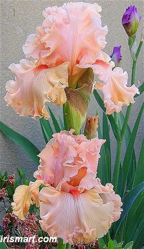 25 best ideas about iris flowers on iris