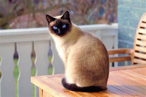 Siamese Cat Breed Profile  Pets Happy Hour