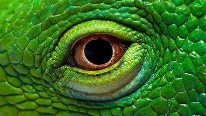 Eye Iguana Resolution Wallpapers13 Desktop