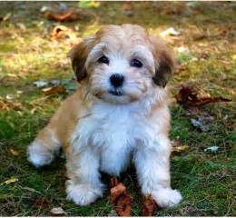 Havanese Colors Puppy