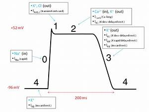 The Action Potential In Ventricular Cells