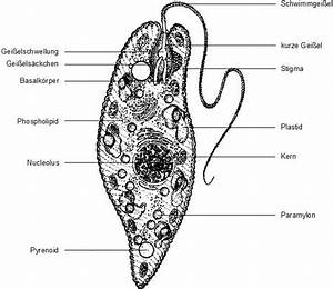 Protist Cell Diagram Labeled