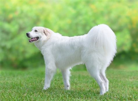 Great Pyrenees Shedding by Great Pyrenees Appearance Grooming Breeds Picture
