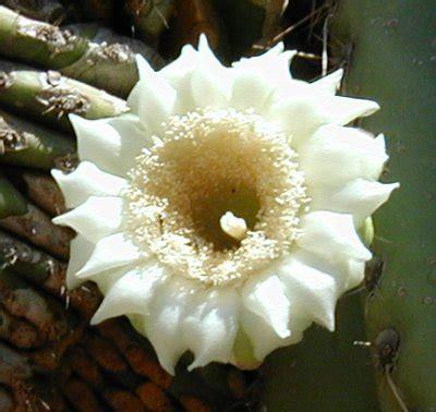 arizona state flower