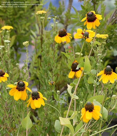 plantfiles pictures rudbeckia species clasping