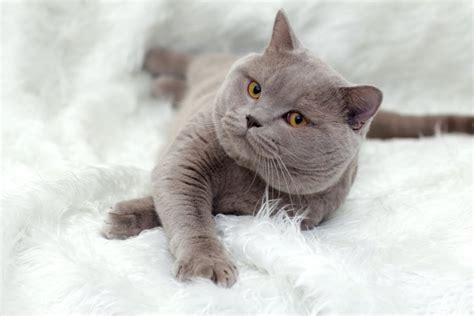 Susipažinkite - britų trumpaplaukis katinas - DELFI Gyvenimas