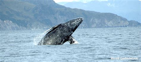 gray whales visit puget sound