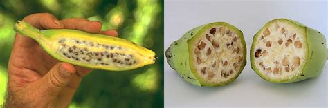 banana with seeds what is natural or not natural yoshizen s blog