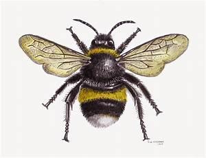 Tim Freeman Design & Illustration: Bumble Bee | graphics ...