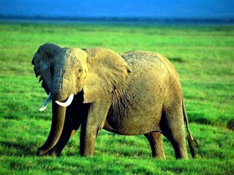 lovely elephants  amazing art screensavers  show