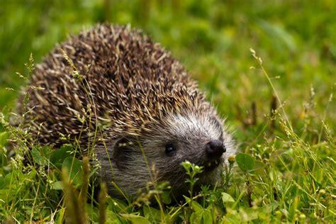 Canon Wildlife Igel Im Garten Foto & Bild Tiere