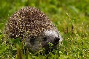 Igel Im Garten : canon wildlife igel im garten bild foto von rainer ~ Lizthompson.info Haus und Dekorationen