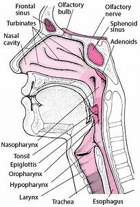 Nose And Sinuses - Ear  Nose  And Throat Disorders