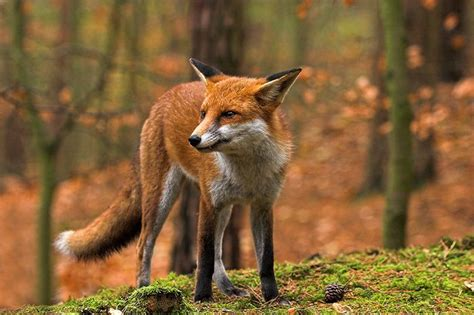 red fox vulpes vulpes canidae wild canines red