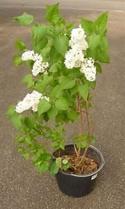 Weiß Blühende Sträucher : flieder fliederbusch wei violett blau busch ~ Michelbontemps.com Haus und Dekorationen