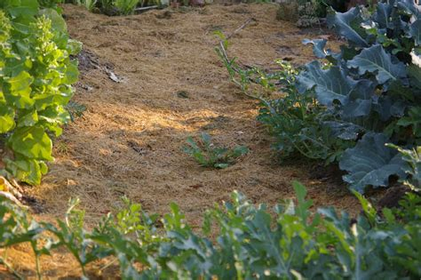 how to mulch grass why i mulch with grass clippings in my southwest idaho garden