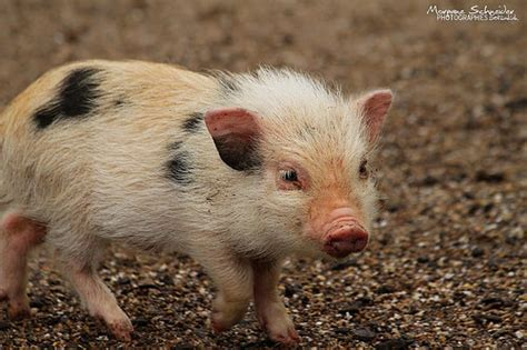 baby pot belly pigs photo