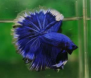 Royal blue and white | Fancy bettas | Pinterest | Blue and ...