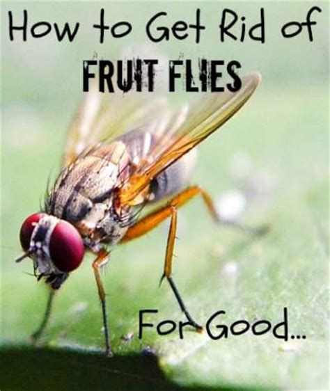 get rid of fruit flies for pint size farm