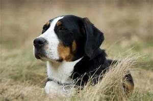 Greater Swiss Mountain Dog | LoveToKnow