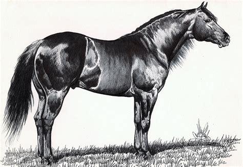 black quarter horse drawing  cheryl poland