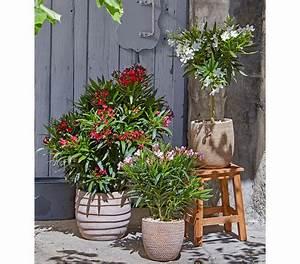 Oleander Winterhart Kaufen : oleander solit rbusch dehner garten center ~ Eleganceandgraceweddings.com Haus und Dekorationen