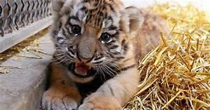 Indianapolis Zoo Hopes Rare Tiger Birth May Help Conserve