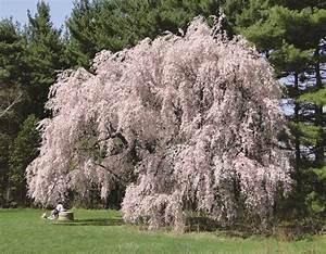 U-M to offer 'Grandmother Tree Walk' tours at Nichols ...  Weeping