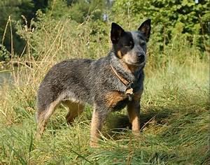Meet Blue Heeler – The Proficient Herding Dog   Our Dogs ...