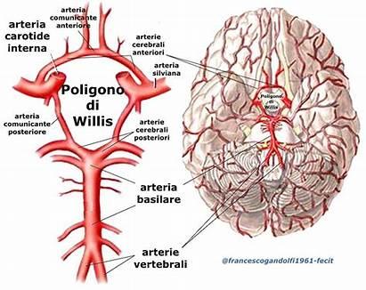 Willis Poligono Arteria Arterie Cerebrale Anteriore Circolo