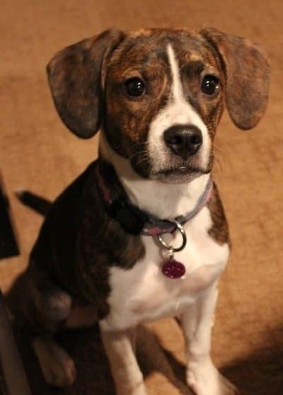 awesome beagle mixes hearty healthy mixed breed hounds