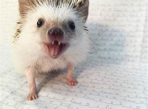 This 'Vampire' Hedgehog Is Instagram's Newest Star | Bored ...