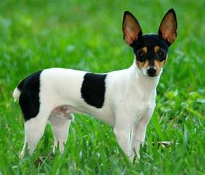 Toy Fox Terrier pics - DogBreedWorld.com