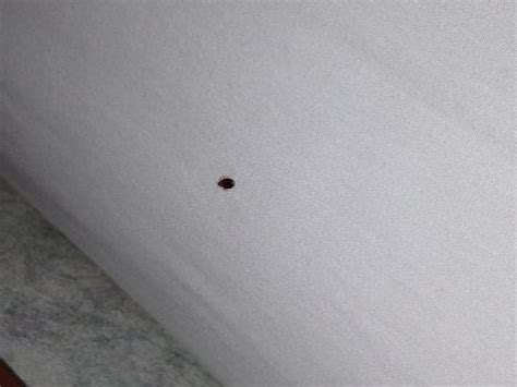 bed bug on bed picture of knights inn atlantic city near