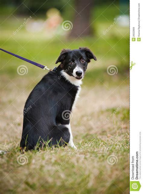 cute puppy border collie stock image image  happy