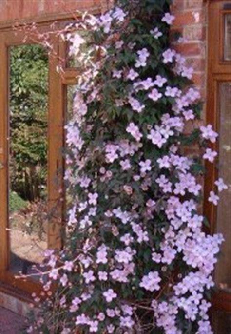 Climbersclimbing Plants From Buckingham Nurseries