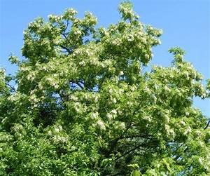 Baum Mit Weißen Blüten : schein akazie jk 39 s pflanzenblog ~ Michelbontemps.com Haus und Dekorationen