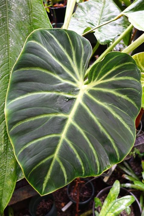 philodendron luxurians choco plants pinterest