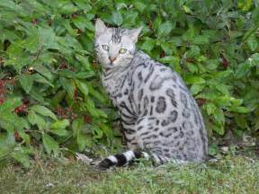 silver bengal cat silver bengal cat bengal kittens