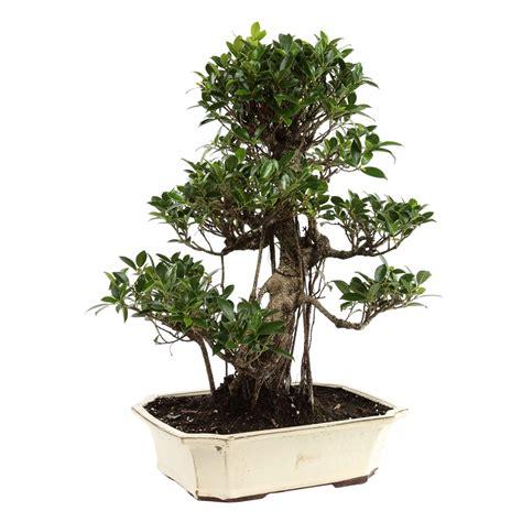 bonsa 239 ficus d int 233 rieur 20 25 ans mitton jardinerie truffaut